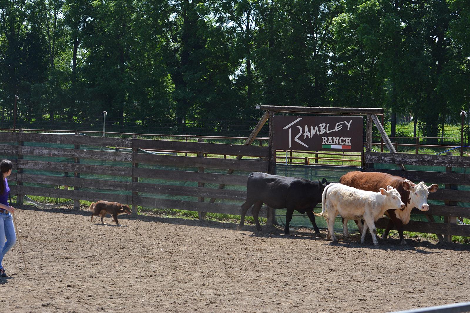 Paša goveda